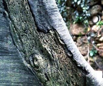 ZURICH ZOO Tree & Mangrove Root