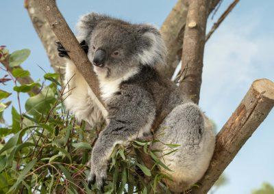 LONGLEAT Koala Habitat